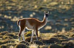 Guanaco no parque nacional Torres del Paine chile patagonia Imagem de Stock Royalty Free
