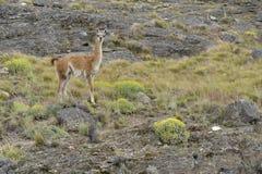 Guanaco på en stenig kulle Arkivbilder
