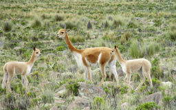 Guanaco in pampa bushes in Patagonia stock image