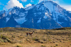 Guanaco in Parque Nacional Torres del Paine, Cile Immagini Stock