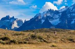 Guanaco in Parque Nacional Torres del Paine, Cile Fotografia Stock Libera da Diritti
