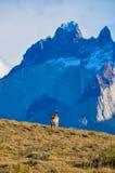 Guanaco in Parque Nacional Torres del Paine, Cile Immagine Stock