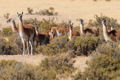 Guanaco in Patagonia Stock Image