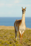Guanaco in Patagonia Royalty Free Stock Photo