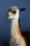 Guanaco in Patagonia, Argentina. Royalty Free Stock Photos