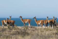 Guanaco, Patagonia, Argentina. Peninsula de Valdes stock photo