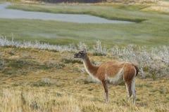 Guanaco, Patagonia, Chile Royalty Free Stock Image