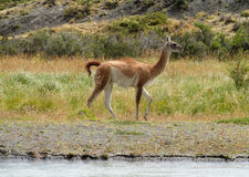 Guanaco in Patagonia. Guanacos in natural area in Patagonia Stock Photo