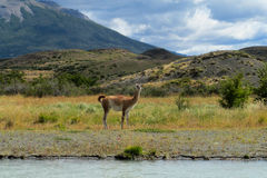 Guanaco in Patagonia. Guanacos in natural area in Patagonia Royalty Free Stock Photo