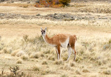 Guanaco in Patagonia. Lama Guanicoe in Torres del Paine National Park, Patagonia, Chile Royalty Free Stock Image