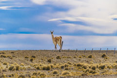Guanaco at Patagonia Landscape, Argentina Royalty Free Stock Image