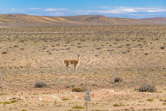 Guanaco at Patagonia Landscape, Argentina Stock Images