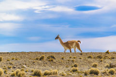 Guanaco at Patagonia Landscape, Argentina Royalty Free Stock Photos