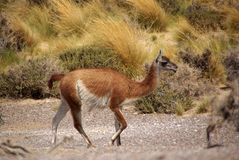 Guanaco in Patagonia Royalty Free Stock Photography