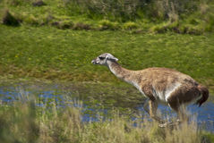 Guanaco, Patagonia Wildlife, Chile  Royalty Free Stock Photos