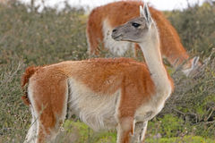 Guanaco in the Patagonian Steppes Royalty Free Stock Photos