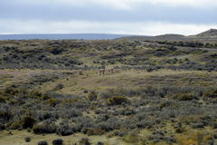 Guanaco perto da vila de Porvenir em Tierra del Fuego Imagem de Stock Royalty Free