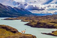 Guanaco perto do lago Pehoe foto de stock royalty free