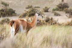 Guanaco portrait in Argentina Patagonia Stock Photo