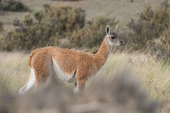 Guanaco portrait in Argentina Patagonia Stock Photography