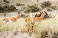 Guanaco portrait in Argentina Patagonia Royalty Free Stock Photos