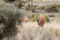 Guanaco portrait in Argentina Patagonia Royalty Free Stock Photography