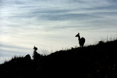 Guanaco portrait in Argentina Patagonia Royalty Free Stock Photo