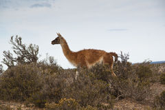 Guanaco at Punta Tombo, Argentina Royalty Free Stock Photos