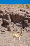 Guanaco que está no deserto de Atacama Foto de Stock Royalty Free