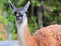 Guanaco After the Rain Royalty Free Stock Photo