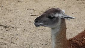Guanaco resting on the warm sand stock video