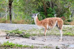 Guanaco & Rhea Stock Images