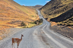 A guanaco is on the road between the hills Stock Photography