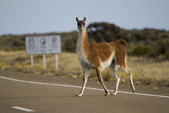 Guanaco on the route Stock Photos