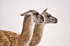 Guanaco's grazing in south america Royalty Free Stock Photos