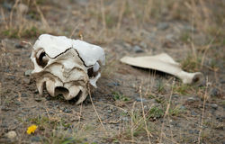 Guanaco skull in Torres del Paine, Chile Royalty Free Stock Photo