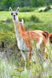 Guanaco som är nära upp i patagoniafälten Arkivfoton