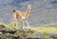 Guanaco som går i en kulle Royaltyfri Foto