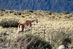 Guanaco som hoppar ett staket i den Torres del Paine nationalparken royaltyfri fotografi