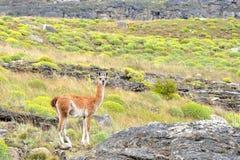 Guanaco som ser till kameran i patagoniafälten Arkivbilder