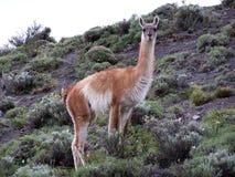 Guanaco in sosta nazionale Torres del Paine Fotografia Stock