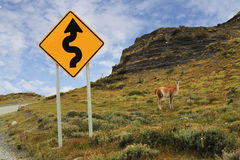 Guanaco standing close to road sign in Torres Del Paine royalty free stock photography
