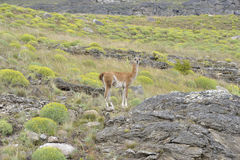 Guanaco. A Guanaco standing in a hill and lookig, Carretera Austral, Chile Royalty Free Stock Image