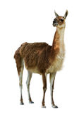 Guanaco Royalty Free Stock Photography