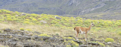 Guanaco standing in a small hill. A Guanaco standing in a  small hill and lookig down , Carretera Austral, Chile Stock Photos