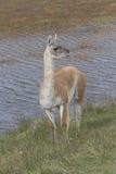 Guanaco standing waterside Stock Photo