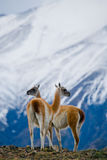 Guanaco stands on the crest of the mountain backdrop of snowy peaks. Torres del Paine. Chile. An excellent illustration royalty free stock image