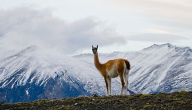 Guanaco stands on the crest of the mountain backdrop of snowy peaks. Torres del Paine. Chile. An excellent illustration royalty free stock photography