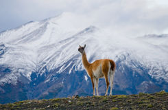 Guanaco stands on the crest of the mountain backdrop of snowy peaks. Torres del Paine. Chile. An excellent illustration stock image