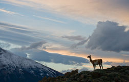 Guanaco stands on the crest of the mountain backdrop of snowy peaks. Torres del Paine. Chile. An excellent illustration stock photography